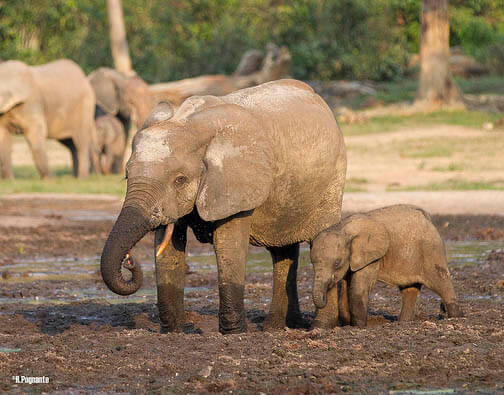 פילים חתוך לאתר